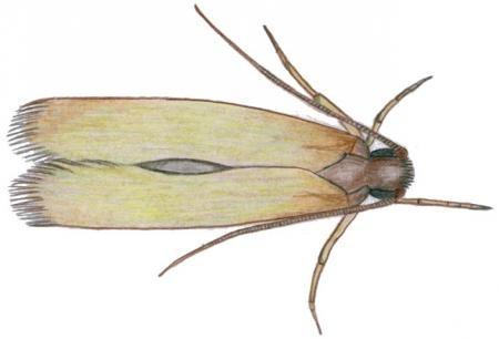 Schlupfwespen gegen Lebensmittelmotten (Trichogramma evanescens)