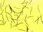 Nematoden (Steinernema carpocapsae) gegen Maulwurfsgrillen Wiesenschnaken 6 Millionen
